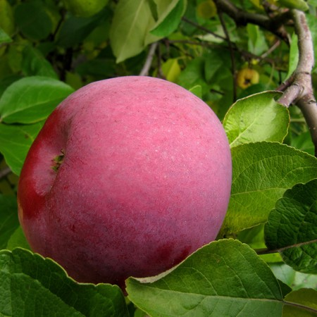 McIntosh red apple ripening on a tree branch.                                Stock Photo