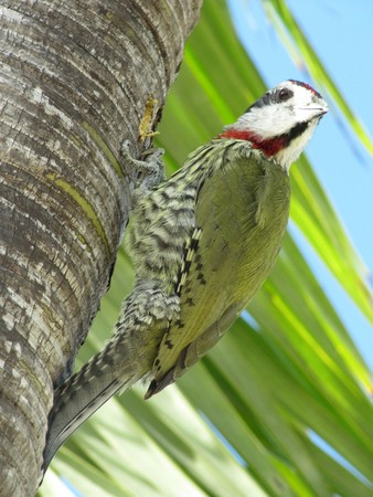 Green Woodpecker on the palm tree searching for food