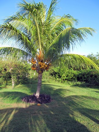 Isolated coconut palm tree casting a shadow on the ground