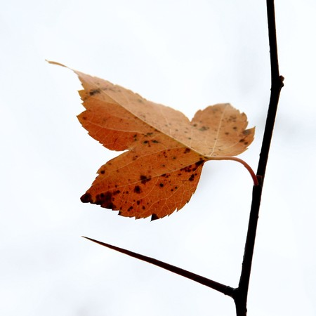 Single fall leaf and thorn on the cloudy sky background