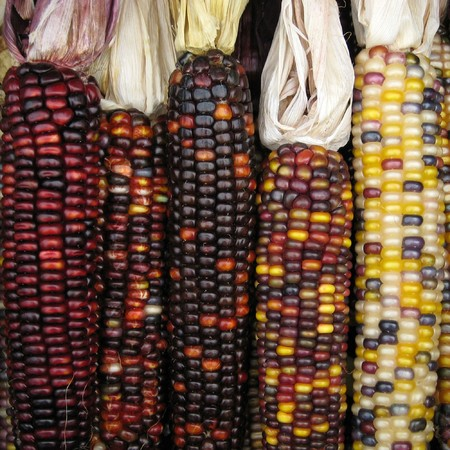 Vertically aligned five indian corns photo