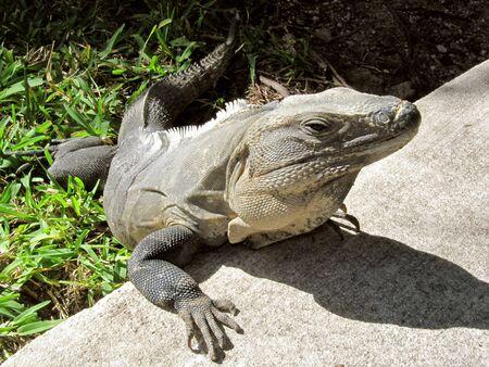 Adult Iguana enjoying the sunbathing in the afternoon