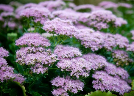 Clumps of small purple flowers