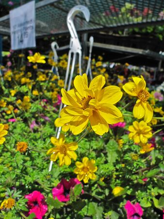 Flower baskets for sale at the greenhouse Stock Photo - 13678198