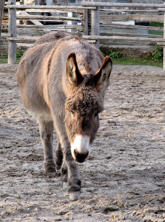 Donkey             Stock Photo - 13728769