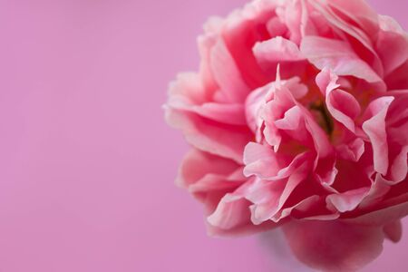 Delicate fluffy pink peony on pink background. Free space on the right