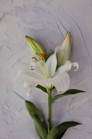 Stylish minimalist design with white lilies on a gray background texture of cement. Boho loft style, copy space. frame of flowers. Stockfoto