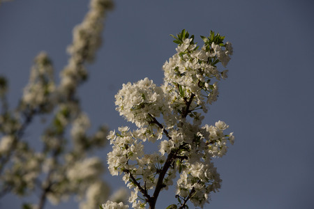 non stock: of particular branches of Plum plums or flowers Stock Photo
