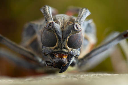 The longhorn beetles (Cerambycidae; also known as long-horned or longicorns) are a large family of beetles, with over 26,000 species described, slightly more than half from the Eastern Hemisphere.