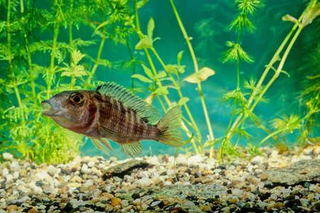 Placidochromis electra ou electra ou encore cichlidae electra (Anciennement, mais encore communément Haplochromis electra) est une espèce de poisson d'eau douce de la famille des cichlidae endémique du lac Malawi en Afrique.