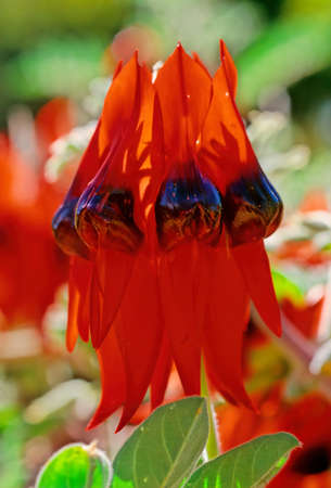 """Swainsona formosa, Sturt's desert pea, is an Australian plant in the genus Swainsona, named after English botanist Isaac Swainson, famous for its distinctive blood-red leaf-like flowers, each with a bulbous black center, or """"boss"""". It is one of Australia's best known wildflowers"""