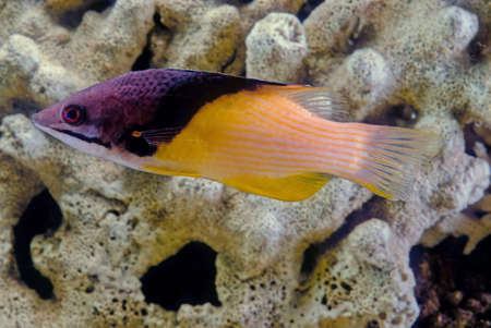 Bodianus mesothoraxwhich has a distinct blackish diagonal band between the purplish head end of the body and the whitish to yellowish posterior part. The juveniles are dark purple with two lines of bright yellow spots.