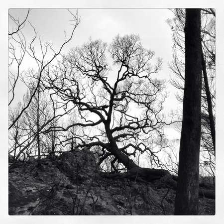 bushfire: Old tree after a bushfire