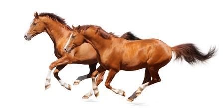 mustang horse: Sorrel trakehner stallion isolated on white