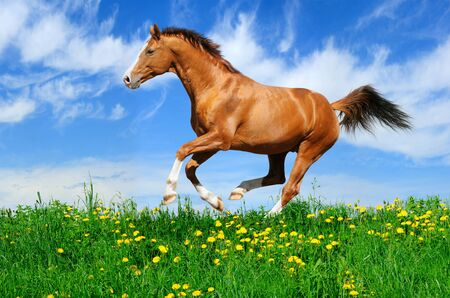 Trakehner sorrel stallion gallops in field 스톡 콘텐츠