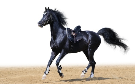 black arabian stallion gallops ob white background