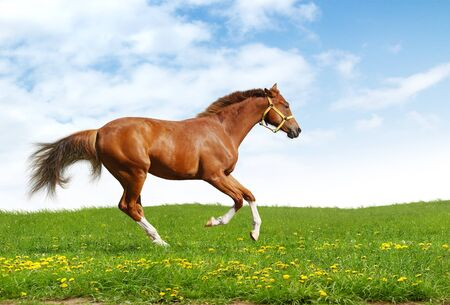 sorrel trakehner foal gallops - realistic photomontage
