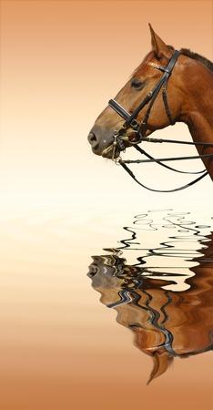 Dressage: t�te de cheval alezan - reflet dans l'eau