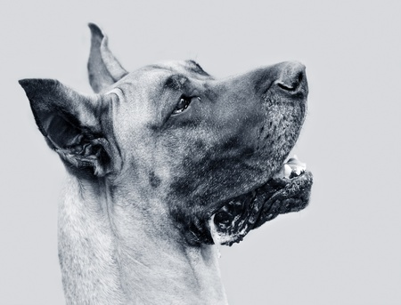 B&W portrait of Great Dane photo
