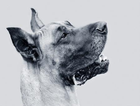 bw: B&W portrait of Great Dane