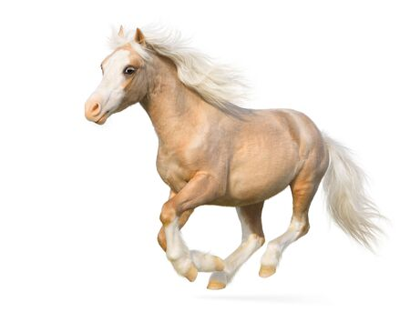 Welsh pony gallops - isolated on white 스톡 콘텐츠