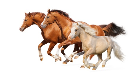 Three horses gallop - isolated on white photo