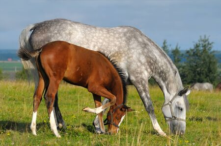 dapple horse: Dapple-grey mare and bay foal in field