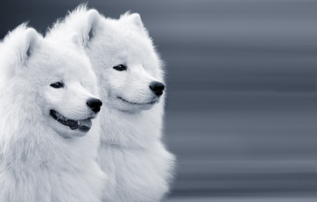 two samoyed dogs on grey background photo