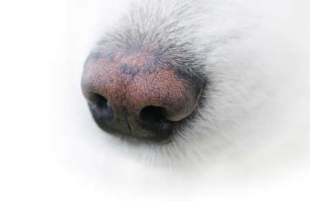 nose close up: The neb of samoyed dog Stock Photo