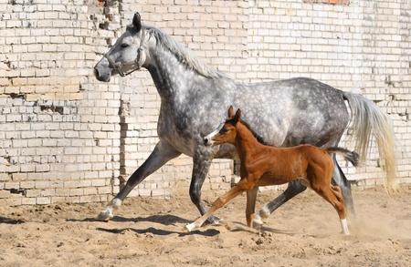 dapple grey: dapple-gray mare and bay foal