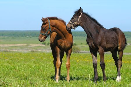 black foal and sorrel foal