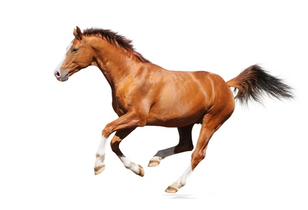 Trakehner Sorrel stallion isolée sur fond blanc