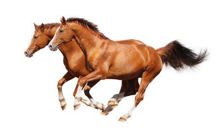 Sorrel trakehner stallion isolated on white