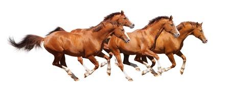 with orange and white body: Galope de cuatro caballos acederas - aislado en blanco