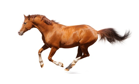 Sorrel trakehner stallion isolated on white