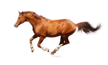 carreras de caballos: Semental de acederas trakehner aislado en blanco Foto de archivo