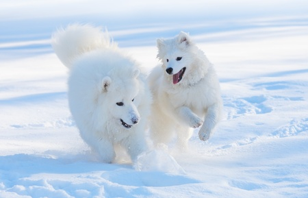 Samoyed dog and puppy play