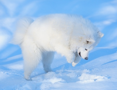 Puppy of Samoyed dog hunt on mouse