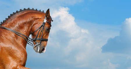 Dressage: head of bay stallion - nature background
