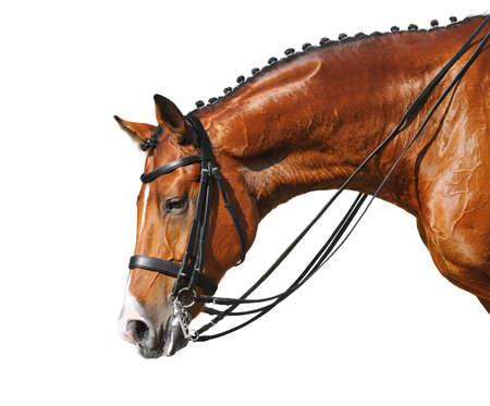 Dressage: head of bay stallion - isolated on white Stock Photo