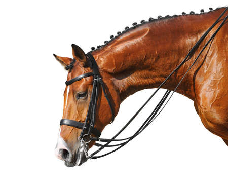 horse chestnuts: Dressage: head of bay stallion - isolated on white Stock Photo