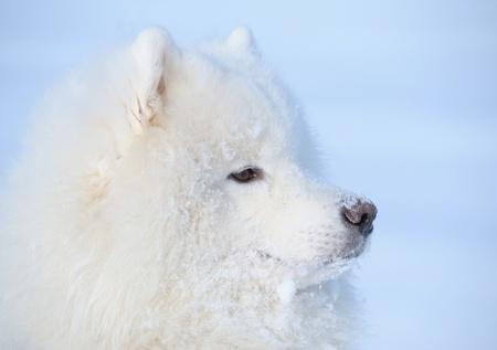 Eskimo dog on blue background photo
