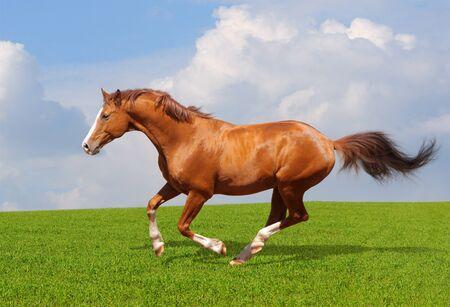 trakehner: Sorrel trakehner stallion gallops in field Stock Photo