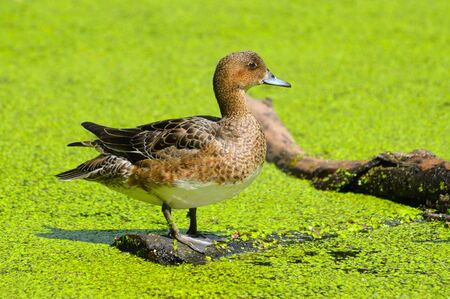 morass: the duck in green morass