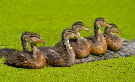 morass: the duckling in green morass