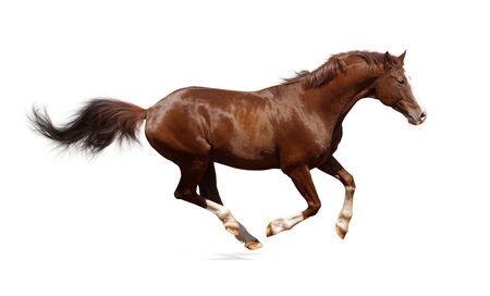 Brown trakehner stallion isolated on white Stock Photo