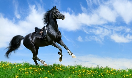 Arabian black stallion gallops in field Stock Photo