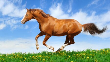 Trakehner sorrel stallion gallops in field Stock Photo