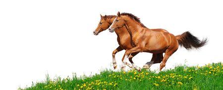 trakehner: Two trakehner sorrel stallions gallop in field - isolated on white
