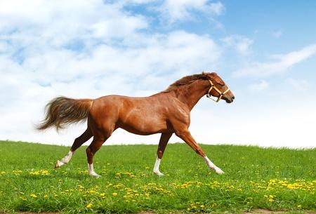 trakehner: sorrel trakehner foal gallops - realistic photomontage